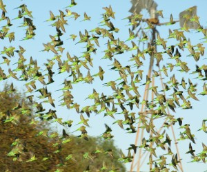 Winter budgies, Source: NACC