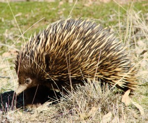 Echidna, by Veronica Doerr