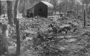 Invasion of Opuntia sp in Queensland after biological control (photo from Dodd 1940).