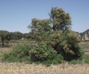Athel Pine, Source: Mallee CMA