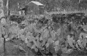 Invasion of Opuntia sp in Queensland before biological control (photo from Dodd 1940)