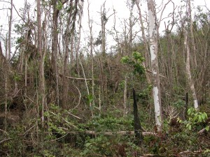 Cyclone damage a month after Larry near El Arish where the largest infestation of Miconia calvescens