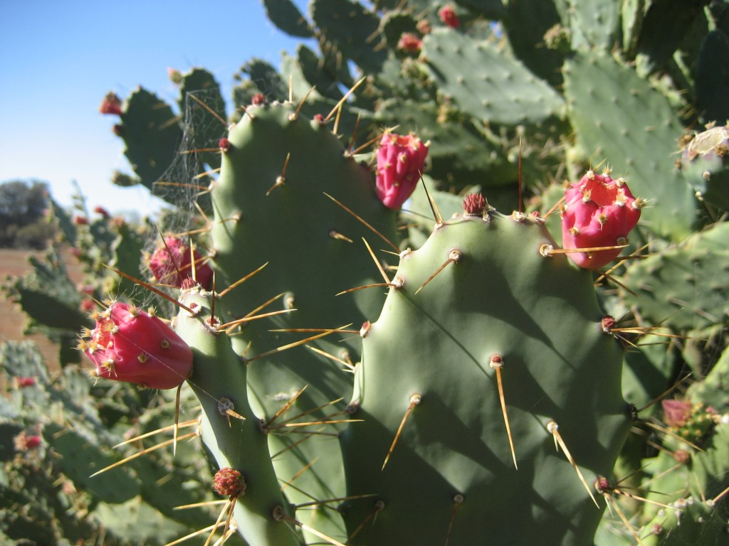 Opuntia elatior; Source: Rangelands NRM; Photographer: Andrew Reeves, DAFWA