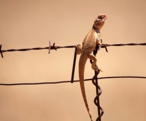 Central Netted Dragon, Photographer: P Stevens , NACC