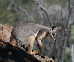Yellow Footed Rock Wallaby. Photographer: Steven Mallett