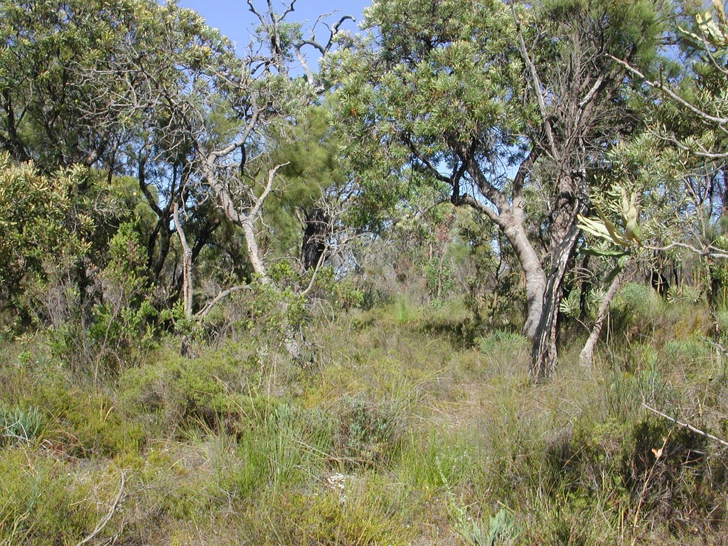 Banksia woodlands are an iconic ecological community of the Perth region. Source: Suzanne Prober
