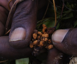 Christopher Lifu shows yam seeds, Captain Billy's Landing, 2014; Source: Lyndal Scobell; Credit Cape York NRM