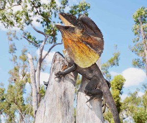Frilled dragon (Chlamydosaurus kingii)
