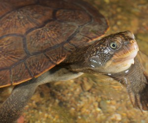 Mary River turtle (Elusor macrurus); Photographer: © Stewart Macdonald / Ug Media