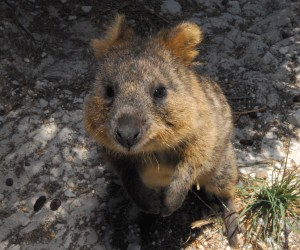 Quokka (Setonix brachyurus); Photographer: © Stewart Macdonald / Ug Media
