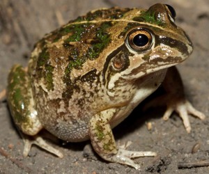 Rough frog (Cyclorana verrucosa); Photographer: Peter Lowik
